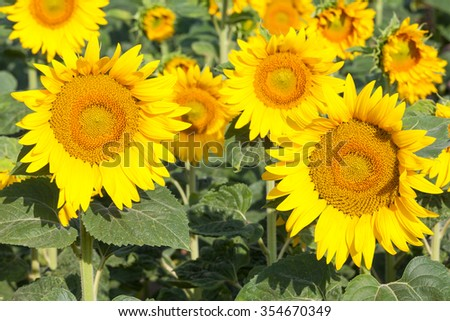 Close up on two sunflowers, Helianthus,  growing in an agricultural field in late sunshine. Cultivated for their seeds and oil and as silage and winter feed for livestock. - stock photo