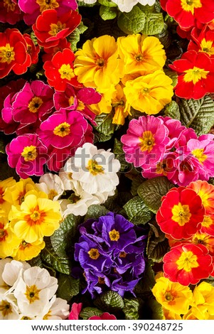 Close up on vivid pink, white, purple, yellow and red primrose flowers growing closely together as a beautiful nature background - stock photo