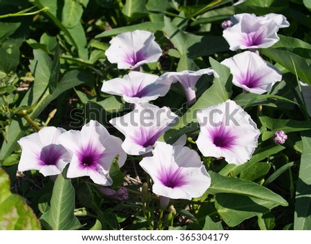 close-up on white purple violet color flowers of Swamp cabbge, Swamp cabbage white stem, Water morning glory creeping on smooth water surface in a pond under natural sunlight on a sunny day - stock photo