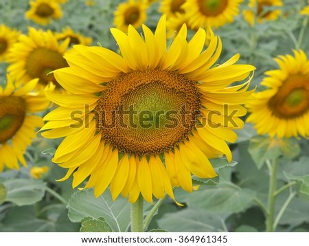 Close up on yellow sunflower in sunflower farm , Sunflower blooming. - stock photo