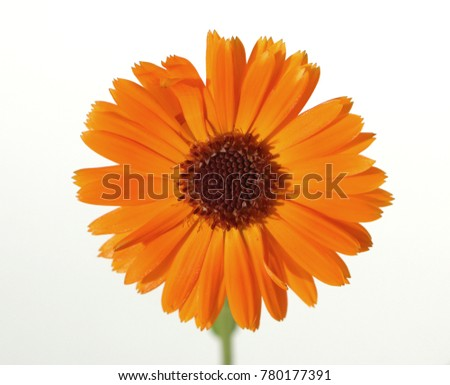 Close up orange color gerbera flower on white background.