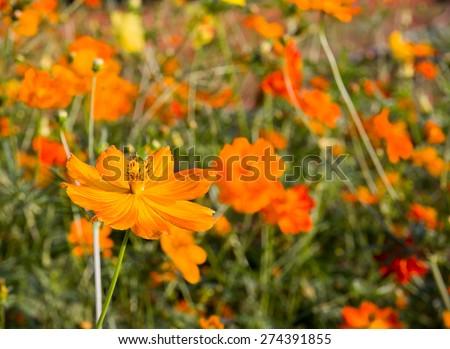 Close up orange cosmos flower family fompositae in garden - stock photo