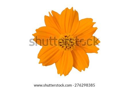 close up Orange daisy  flower Isolated On White background - stock photo