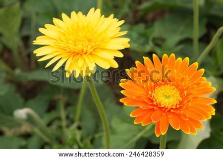 Close up orange gerbera flowers in the garden, selective focus. - stock photo