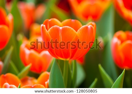 Close up orange tulips in the garden - stock photo