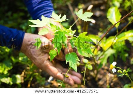 Close-up Organic papaya planting at farming - stock photo