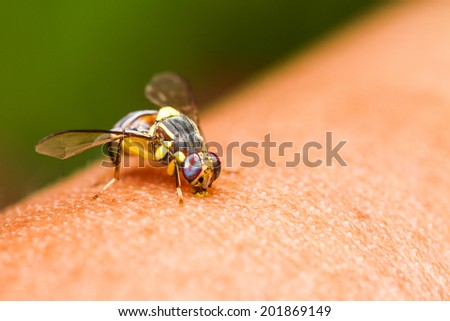 Close up Oriental fruit fly on hand - stock photo