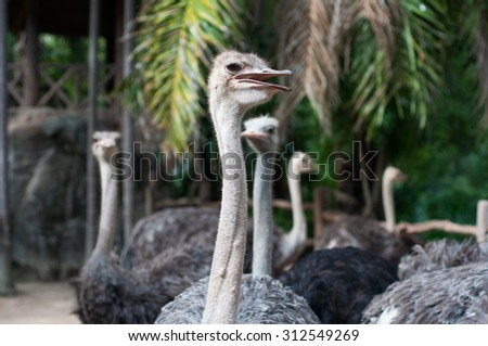 Close up ostrich head standing in KOA KAEW zoo (Thailand). - stock photo