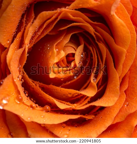 Close up overhead view of sparkling dewdrops or raindrops on the petals of an orange rose in a love, romance, Valentines or anniversary concept. - stock photo
