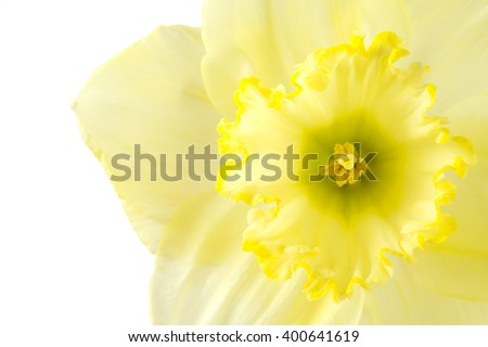 Close up pale yellow daffodil on a white background - stock photo