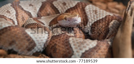 Close up panoramic image of Copperhead (Agkistrodon-contortrix) snake coiled and curled up - stock photo