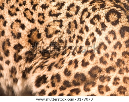 close up pattern - fur of caucasian leopard