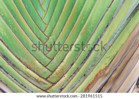 Close up pattern of Traveller's- tree , Ravenala madagascariensis Palm use for background