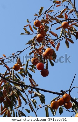 close up persimmon tree in the Seoul city - stock photo
