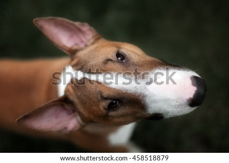 Close Up Pet redBullterrier Dog Portrait Indoor On Brown Background