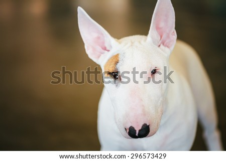 Close Up Pet White Bullterrier Dog Portrait Indoor On Brown Background - stock photo