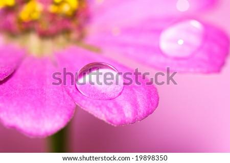 close-up petals of flower with water drop, macro (shallow DOF) - stock photo