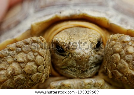 Close up photo a spurred tortoise - Geochelone sulcata - stock photo