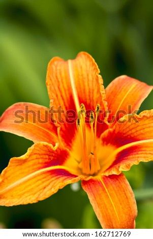 close-up photo of a beautiful orange flower in the garden - stock photo