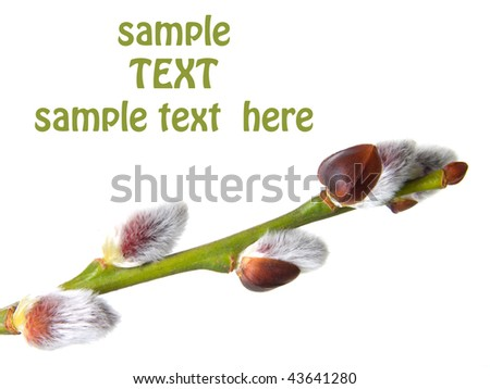 close up photo of a branch pussy willow - stock photo