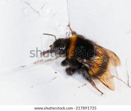 Close up photo of a bumble bee  - stock photo