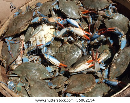 close up photo of a bushel basket of live blue crabs from the Chesapeake Bay of Maryland - stock photo