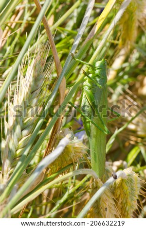 Close up photo of a green grasshopper on a grain - stock photo