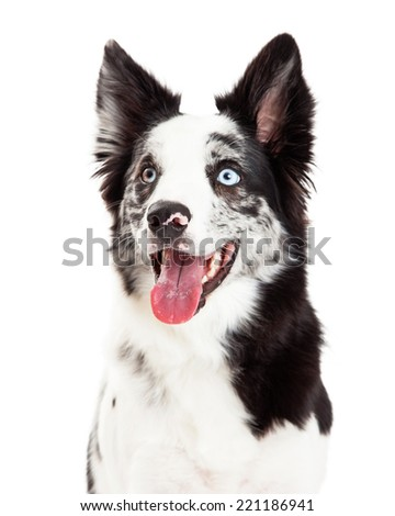Close-up photo of a happy Border Collie dog with spotted markings and blue eyes and an open mouth  - stock photo