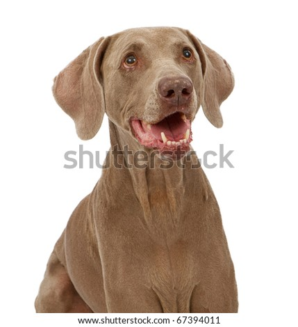 Close-up photo of a happy Weimaraner dog isolated on white - stock photo