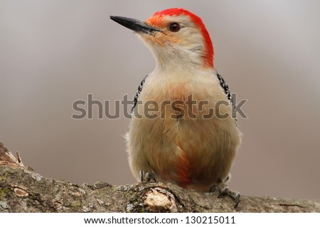 Close up photo of a Red Bellied Woodpecker perched on a tree limb in Missouri. - stock photo