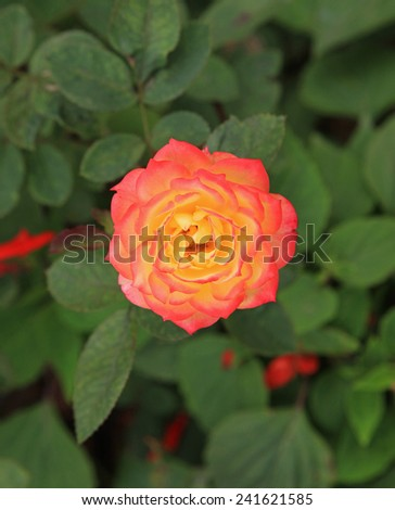 Close up photo of a rose, focus on the center.  - stock photo