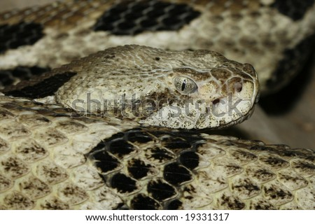 Close up photo of a timber rattlesnake taken with macro lens.  Crotalus Horridus. - stock photo