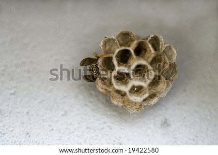 Close up photo of a wasp and it's new nest - stock photo