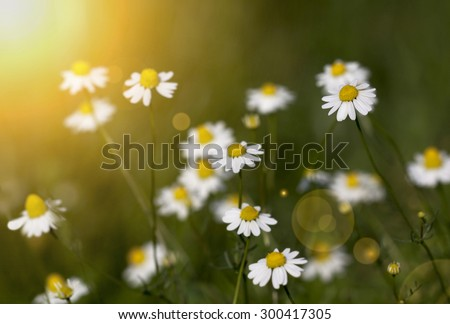 Close up photo of a white chamomile herbal field in summer - stock photo