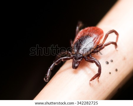 Close up photo of adult female deer tick crawling on piece of straw - stock photo