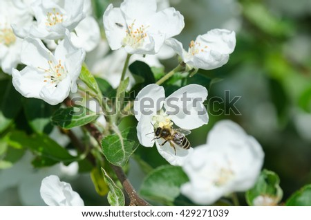 Close up photo of bee on blossoming apple tree branch - stock photo