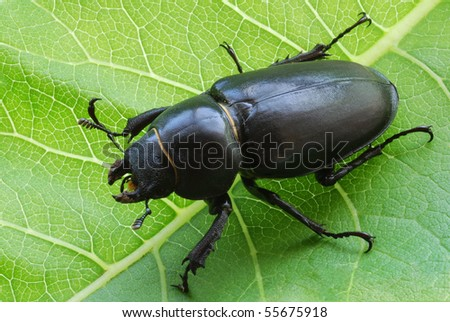 close-up photo of big female stag-beetle on leaf - stock photo