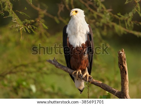 Close up  photo of bird of prey, Haliaeetus vocifer, African fish eagle perched on branch against blurred green bush in background in warm afternoon light. Marchison Falls, Uganda. - stock photo
