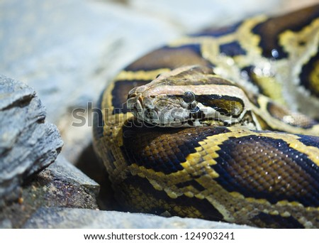 Close-up photo of burmese python (Python molurus bivittatus)