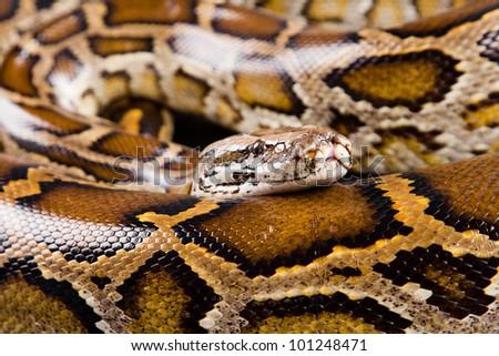 Close-up photo of burmese python (Python molurus bivittatus) isolated on black background. - stock photo