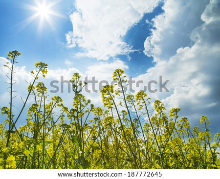 Close-up photo of canola, rapeseed flower row blooming at crops field. - stock photo