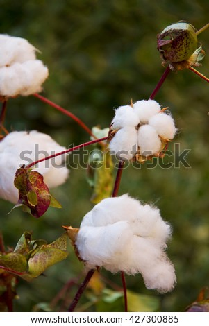 Close up photo of cotton blossoms during spring in the wild nature, ready for harvesting. - stock photo