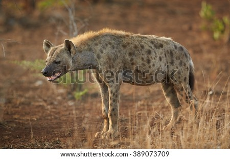Close up photo of curious Spotted hyena, Crocuta crocuta with opened mouth  in Kruger National Park, South Africa. - stock photo