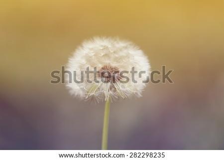Close up photo of dandelion flower - stock photo