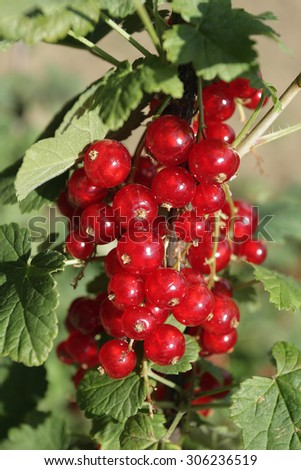 Close up photo of delicious red currant - stock photo