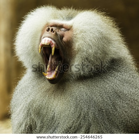 Close-up photo of Hamadryas baboon yawning, showing teeth and wide open mouth - stock photo