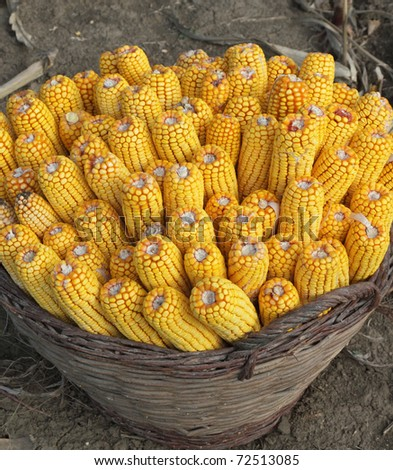 Close up photo of harvested corn in a basket - stock photo