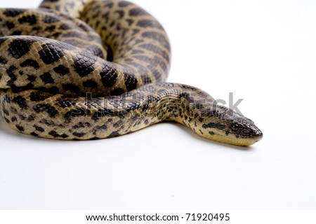 Close up photo of huge and dangerous yellow anacondas (Eunectes notaeus ready to attack on white background isolated, a lot of copyspace available, macrophotography
