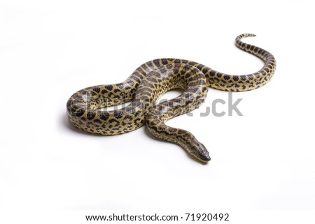Close up photo of huge and dangerous yellow anacondas (Eunectes notaeusready to attack on white background isolated, a lot of copyspace available, macrophotography - stock photo