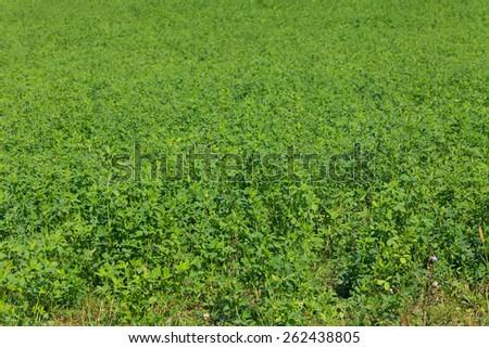 Close up photo of large alfalfa field - stock photo